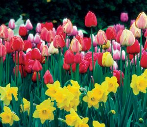 Group Of Tulips And Daffodils In A Field
